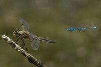 Azure Damselfly flying past Four-spotted Chaser on twig. Coenagrion puella and Libellula quadrimaculata