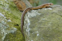 Common lizard Zootoca vivipara