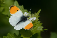 Orange-tip Anthocharis cardamines